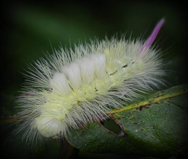 Pale Tussock Moth Caterpillar by Jacaro