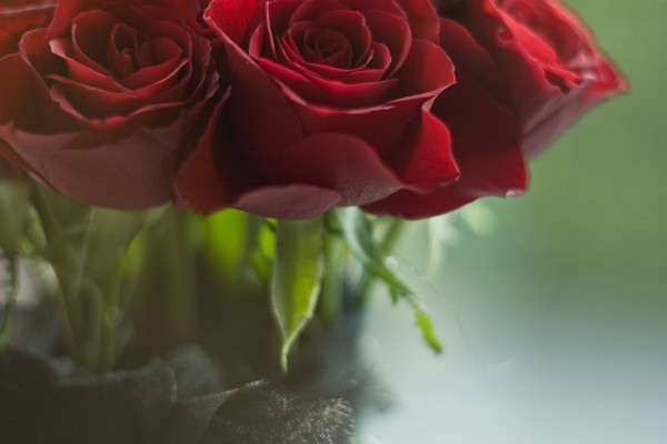 Roses project 1 by Henshall