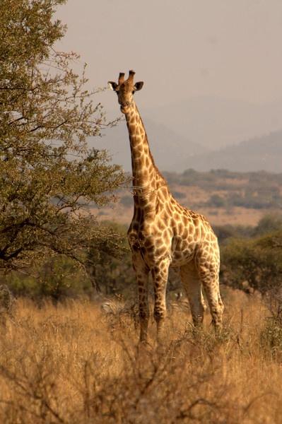 Giraffe by cat001
