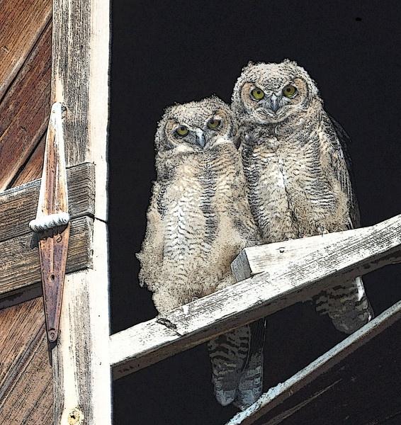 Horned Owls by Brentlee