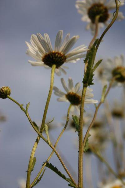 daisy by glennmeeds