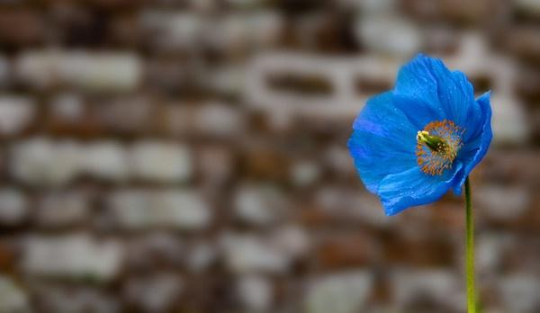 Blue Flower by cmorton