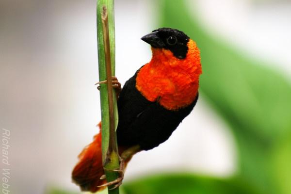 Orange Bird by trickster