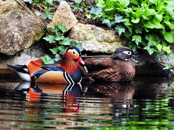 Mandarin ducks by john_w168