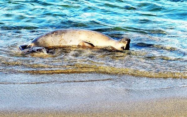 California Harbor Seal by john_w168