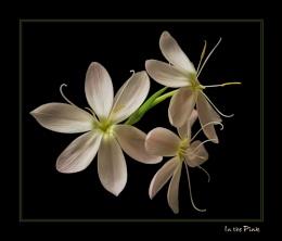 Three Kaffir Lilies