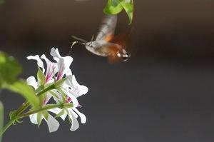 Hawk Moth by Shanny