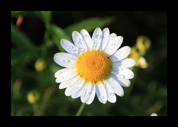 Daisy by kencbr