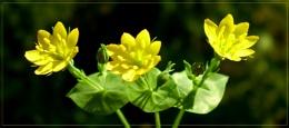 golden trio - blackstonia perfoliata