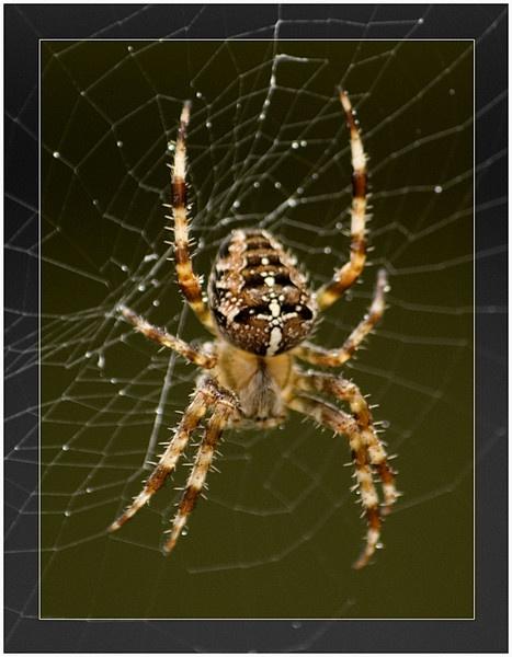 Spider by DERIC