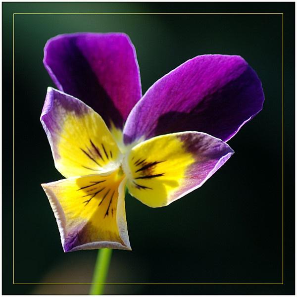 Viola by DERIC