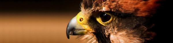 Lanner Hawk by iancatch