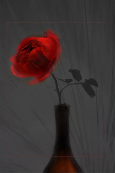 dark rose by maywee
