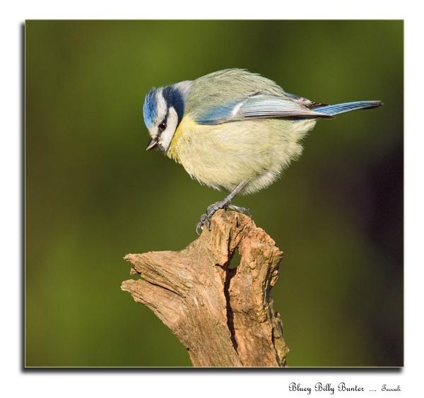 Bluey Billy Bunter by teocali