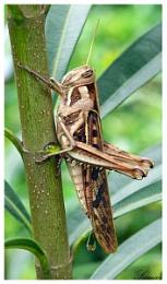 Grasshopper / Lacost