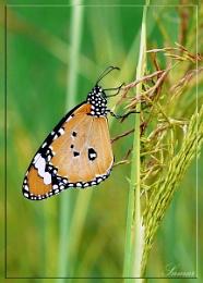 Butterfly_orange II
