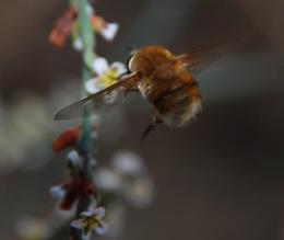 Bee-Fly3
