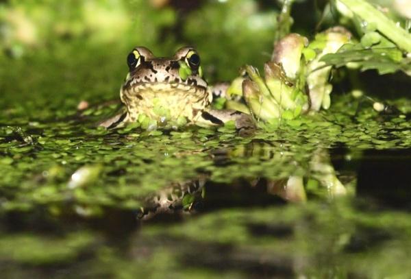 frog by jayjay52