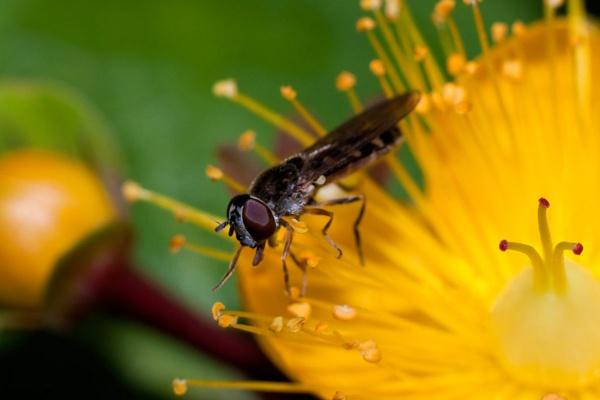 little hover fly by HuntedDragon