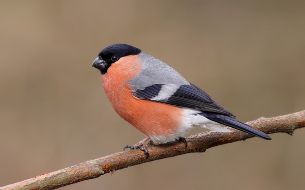 Male Bullfinch by Karen_Summers