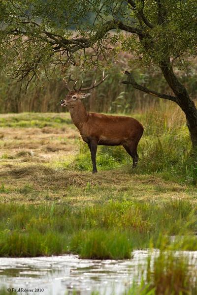 Red Deer In Habbitat by paulrosser