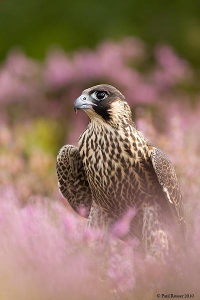Perigrine Falcon (C) by paulrosser