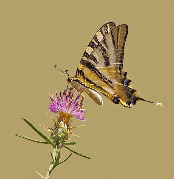 Scarce Swallowtail by NigelKiteley