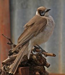 Honey Bird