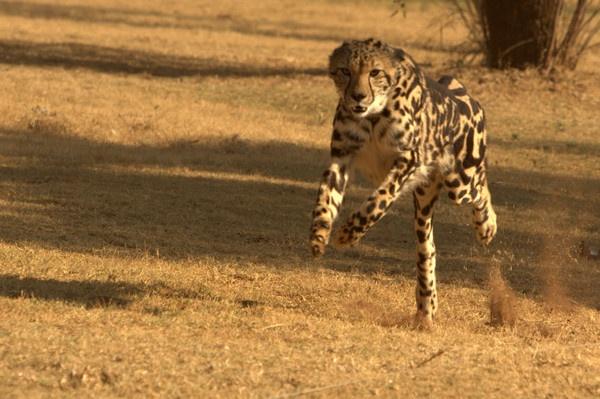 Running Cheetah by cat001
