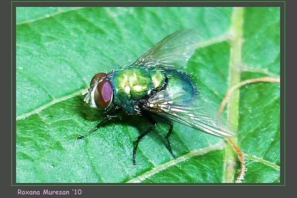 shit fly (Lucilia Caesar) by RoxanaAdina
