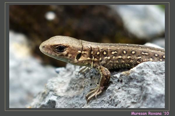 grey lizard (Lacerta agilis) by RoxanaAdina