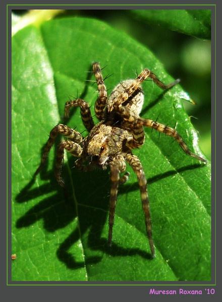 spider by RoxanaAdina