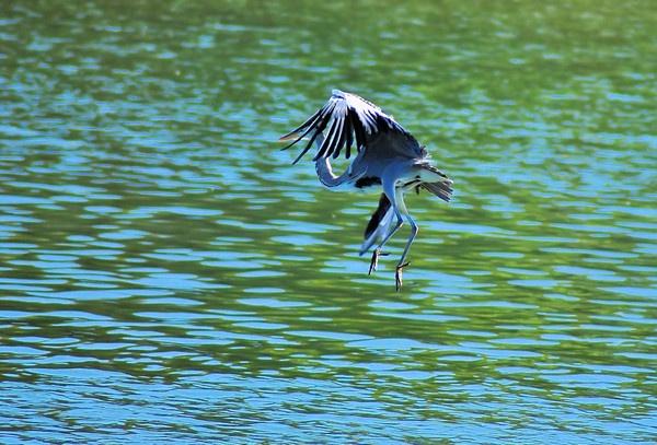 Dancing heron by gabriel_flr