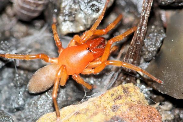 woodlouse spider by glennmeeds