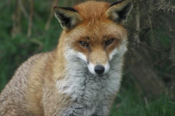 Fox by trickster
