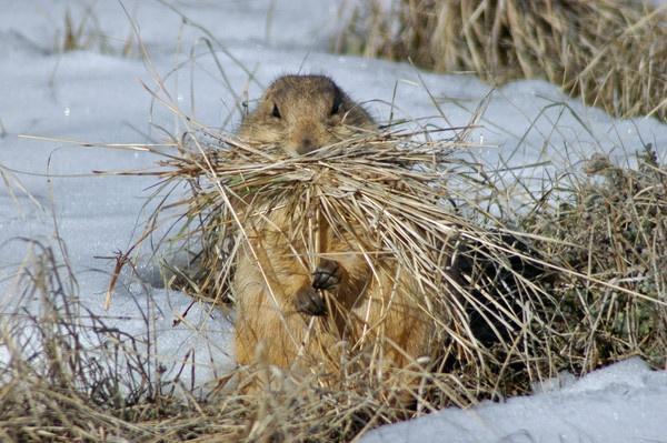Hungry Prairie Dog by StuartDavie