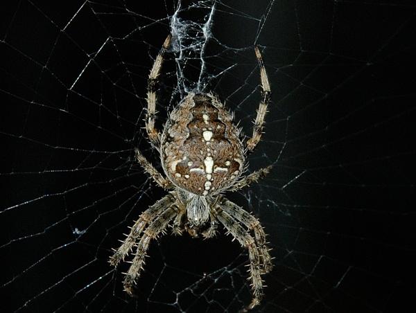 Spiky Spider by AlistairJ