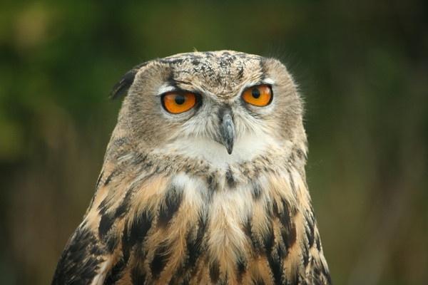 owl portrait by curt