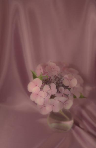 Hydrangea by harryw