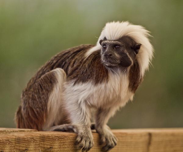 Cheeky Monkey by chensuriashi