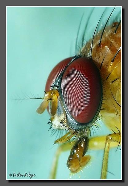 Fly by Pieter_Kotzee