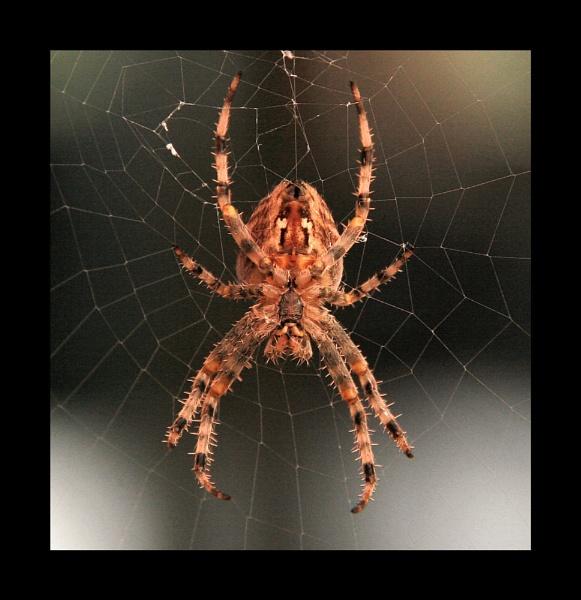 Garden Spider (Araneus diadematus) by kencbr