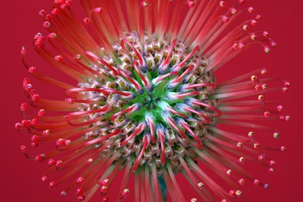Protea by brianhaslam