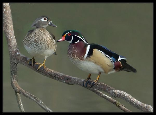 Male & Female wood ducks by Bertadd