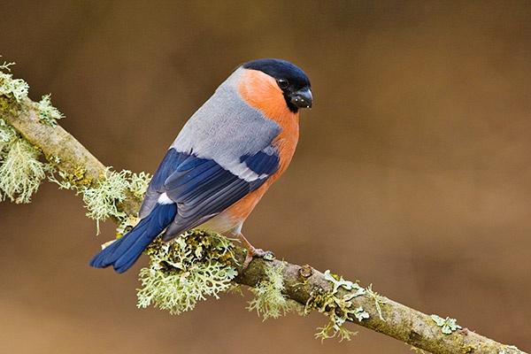 Male Bullfinch by alecs