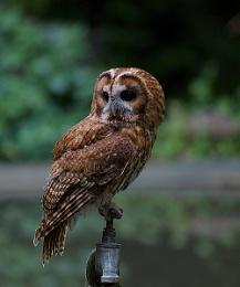 Andover Owl