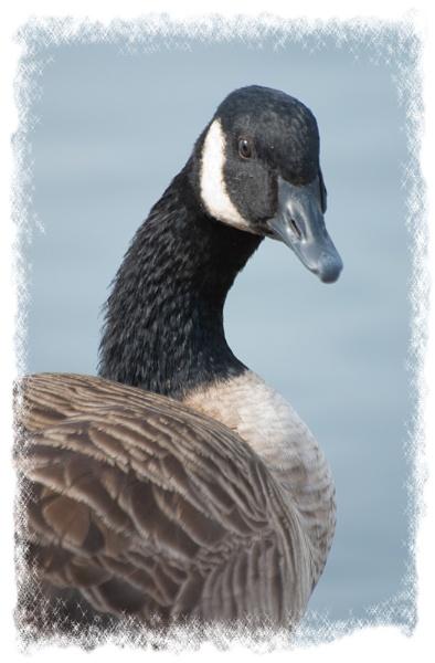 Canada Goose by franken