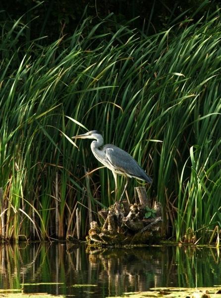 Grey Heron 2 by dnwilliams