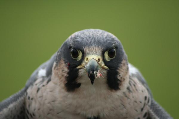 Falcon by gareth01422