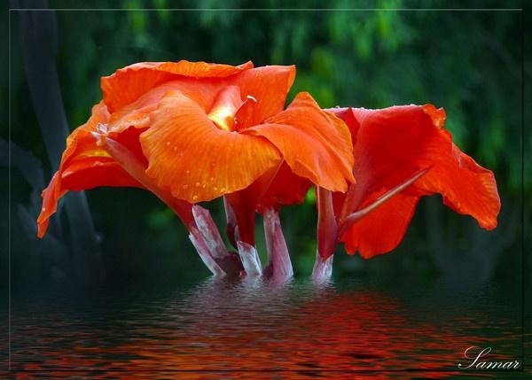 Canna Red by samarmishra